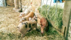 Bio-Schweine-bio-Naturhaus-Noerdlingen
